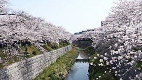 桜も名所「山崎川」