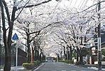 矢川駅までの通りは、季節には見事な桜並木が出現します。