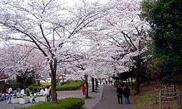 尾根緑道桜並木 900m