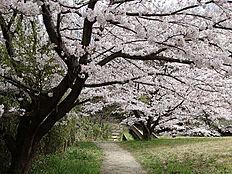 長沼公園は、園路が整備されており、手軽な山歩きが楽しめ、尾根や丘陵上の広場から奥多摩の山々や市街を望むことができます。園を覆う雑木林の中に何本かコブシの大木もあり春には枝いっぱいに白い花を咲かせます。